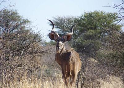 Tour 12 - Kgalagadi - Mabuasehube 4x4 - Kudu