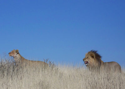 Tour 14 - Kgalagadi & Kaa Kalahari Concession - Lions