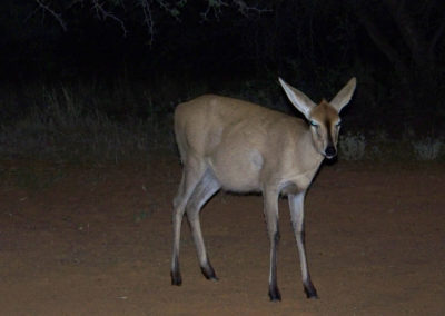 Tour 17 - Witsand Nature Reserve - Common Duiker