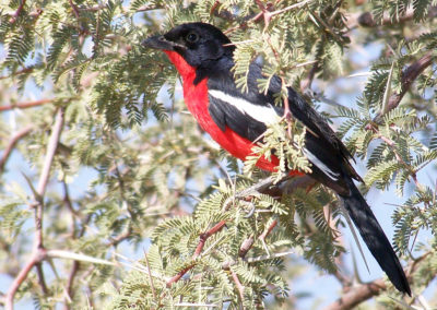 Tour 17 - Witsand Nature Reserve - Crimson-breasted Shrike