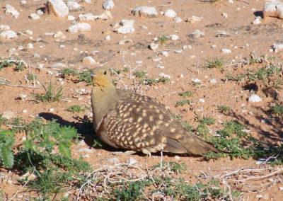 Tour 17 - Witsand Nature Reserve - Namaqua Sandgrouse