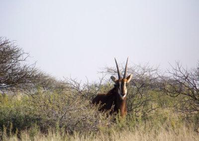 Tour 18 - Mokala - Sable Antelope