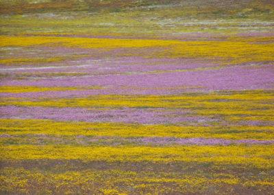 Tour 20 - Namaqua Flower - Flowers Goegap Nature Reserve