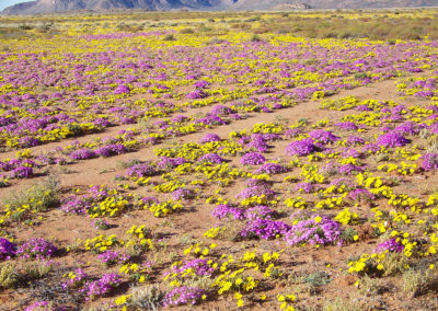 Tour 20 - Namaqua Flower - Flowers Springbok area