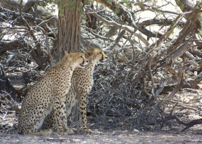 Tour 24 - Best of Northern Cape - Cheetahs Kgalagadi