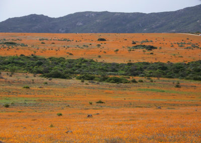 Tour 25 - Arid Parks - Daisies, Skilpad Section, Namaqua Park