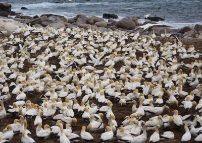 Tour 34 - Kalahari - Cape Town - Cape Gannets, Bird Island