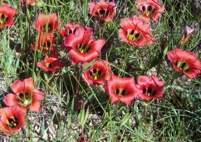 Tour 34 - Kalahari - Cape Town - Satin Flowers, Niewoudtville
