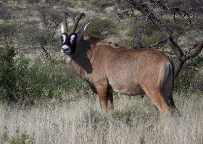 Tour 39 - Kimberley - PE - Cape Town - Roan Antelope, Mokala Park