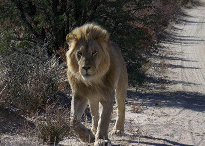 Tour 47 - Kgalagadi - Etosha Parks - Kalahari Lion, Kgalagadi Park