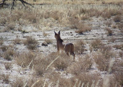 Tour 48 - Kgalagadi - Namib - Etosha - Caracal, Kgalagadi Park