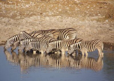 Tour 48 - Kgalagadi - Namib - Etosha - Zebras, Etosha Park