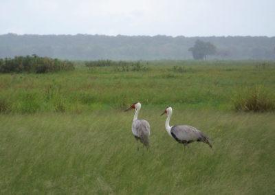 Tour 49 - Kgalagadi - Namibia - Botswana - Wattled Cranes, Mahango Park