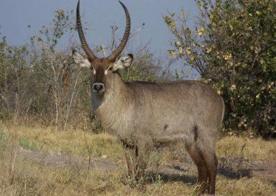Tour 52 - Northern South Africa - Botswana - Waterbuck, Khwai