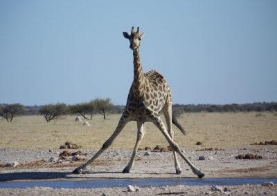 Tour 53 - South & Central Botswana - Giraffe drinking, Nxai Pan Park - Copy