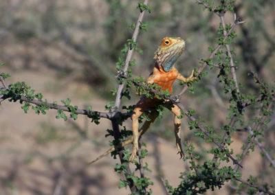 Tour 53 - South & Central Botswana - Ground Agama, Kgalagadi Park - Copy
