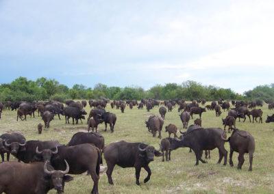Tour 54 - Botswana Camping Safari - Buffalo Herd, Chobe