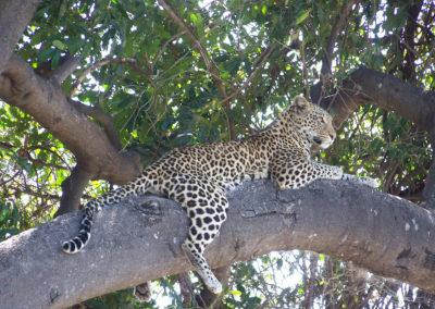 Tour 54 - Botswana Camping Safari - Leopard, Chobe