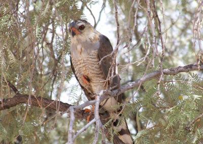 Tour 60 - Kalahari Raptor Tour - Juvenile Gabar Goshawk