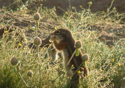 Tour 61 - Kalahari Meerkat Tour - Ground Squirrel