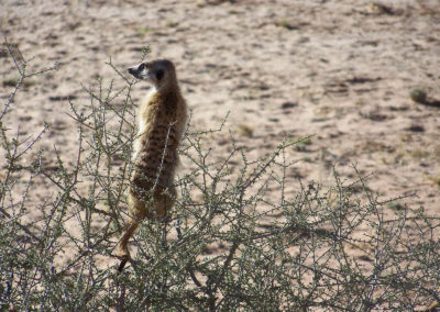 Tour 61 - Kalahari Meerkat Tour - Meerkat on guard in Driedoring Bush