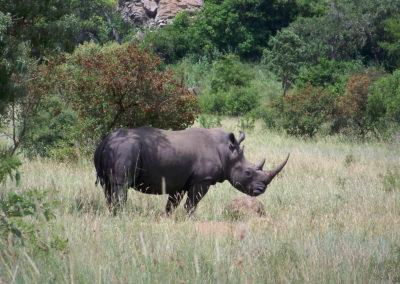 Tour 44 - Kruger Park - White Rhino